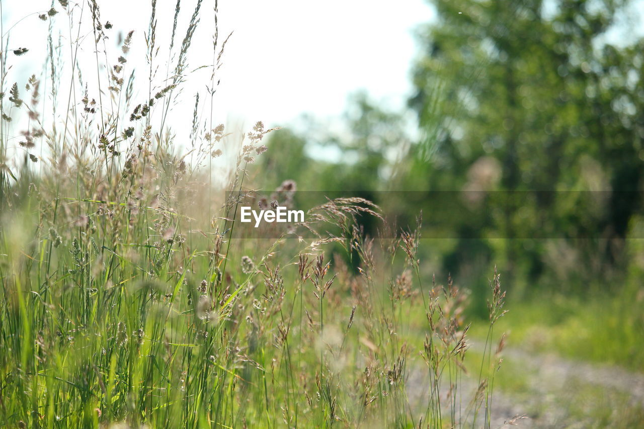 growth, nature, grass, field, plant, tranquility, no people, outdoors, day, beauty in nature, sky, close-up, freshness