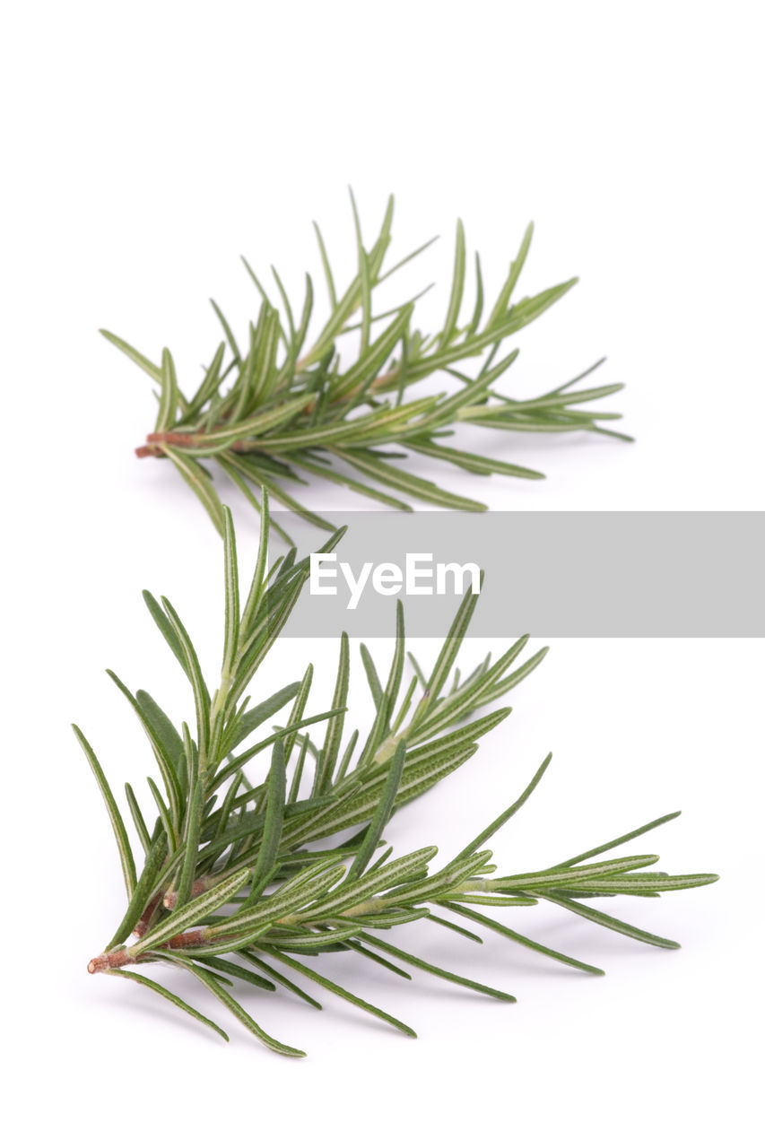 white background, studio shot, green color, rosemary, indoors, plant, herb, leaf, plant part, close-up, no people, nature, food, food and drink, freshness, still life, cut out, medicine, herbal medicine, growth