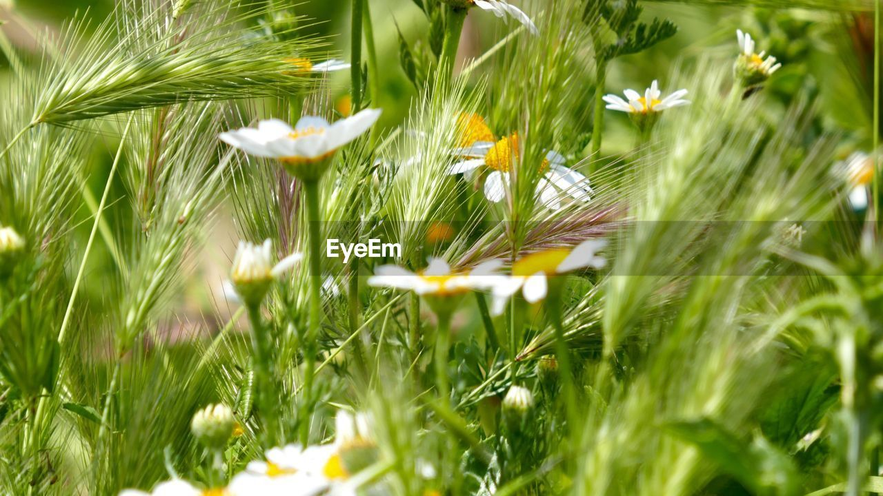plant, growth, flower, flowering plant, fragility, freshness, vulnerability, beauty in nature, field, nature, selective focus, land, close-up, green color, petal, flower head, grass, no people, day, daisy, outdoors