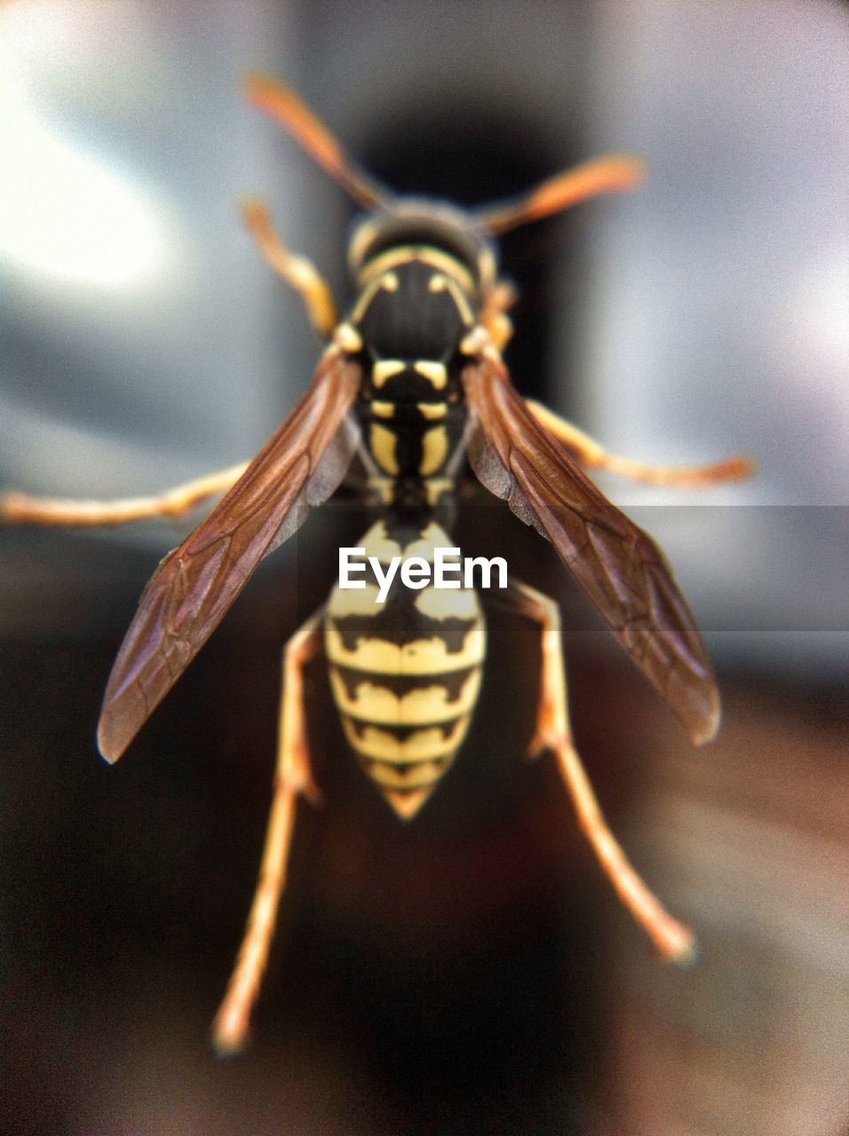Close-up of wasp on glass