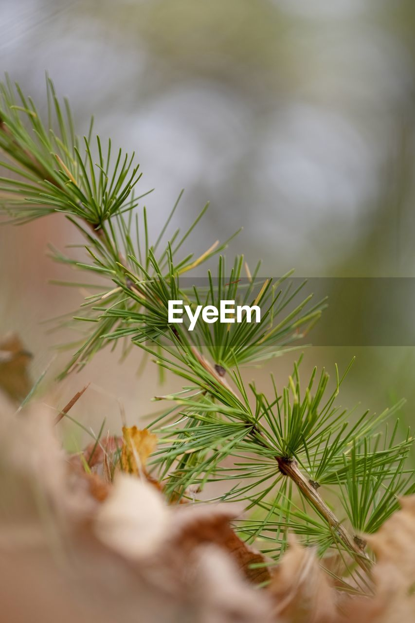 plant, selective focus, green color, growth, close-up, no people, leaf, plant part, nature, day, herb, beauty in nature, outdoors, marijuana - herbal cannabis, tree, healthcare and medicine, cannabis plant, food and drink, rosemary, needle - plant part