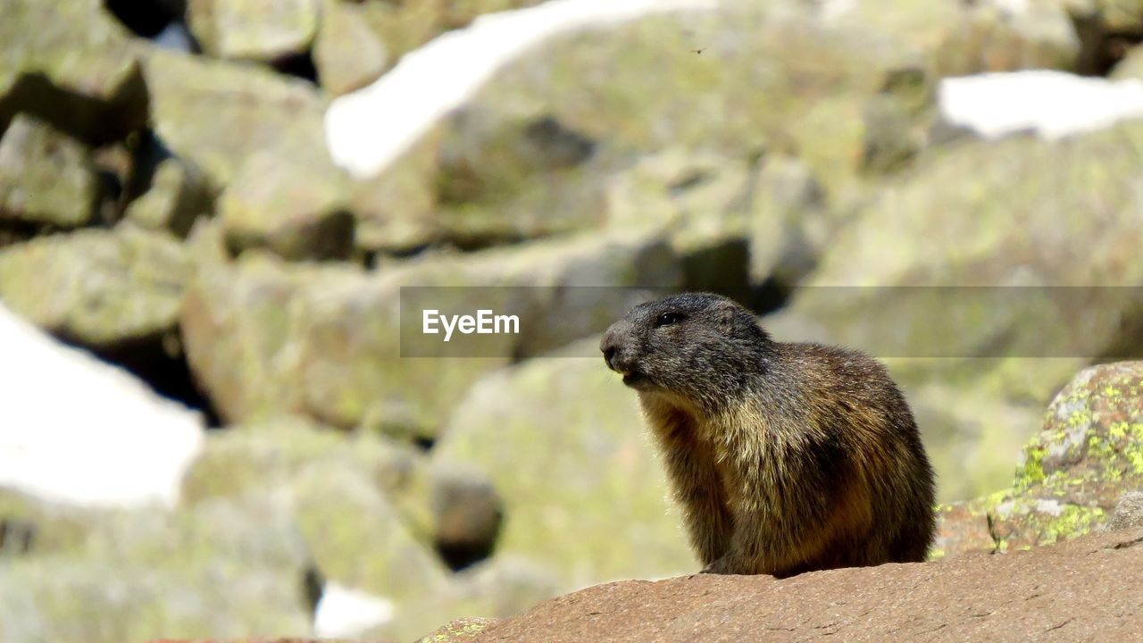 animal wildlife, animal themes, animal, one animal, animals in the wild, solid, rock, rock - object, mammal, focus on foreground, rodent, vertebrate, day, no people, nature, close-up, outdoors, sunlight, looking, looking away, whisker