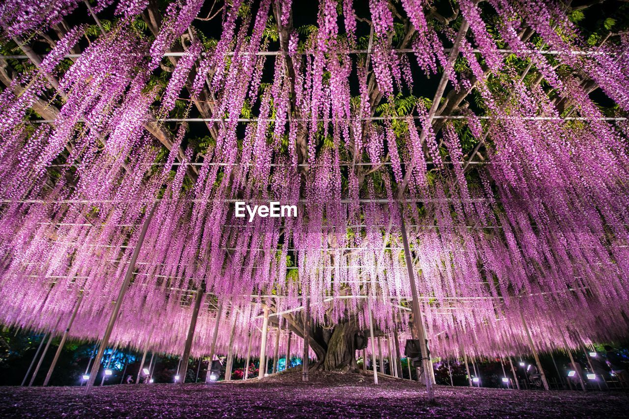 purple, flower, flowering plant, beauty in nature, growth, fragility, vulnerability, lavender, plant, nature, freshness, no people, wisteria, outdoors, vine, pink color, lavender colored, day, park, park - man made space