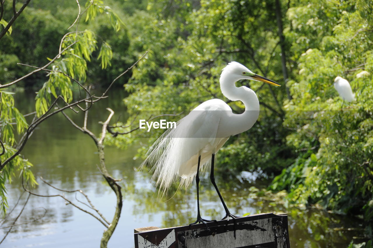 Snowy Egret Perching By River In Forest