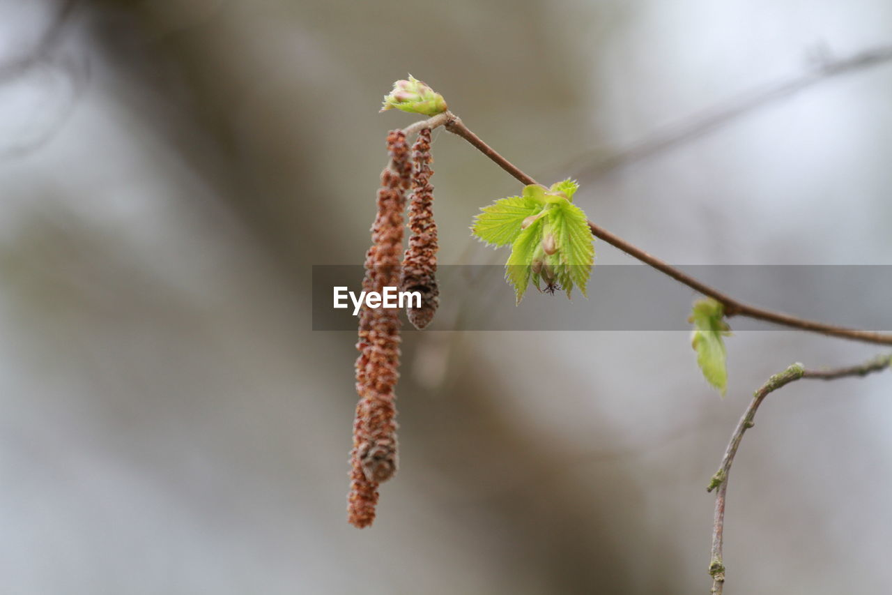 focus on foreground, no people, plant, nature, growth, day, close-up, outdoors, beauty in nature, catkin, animal themes