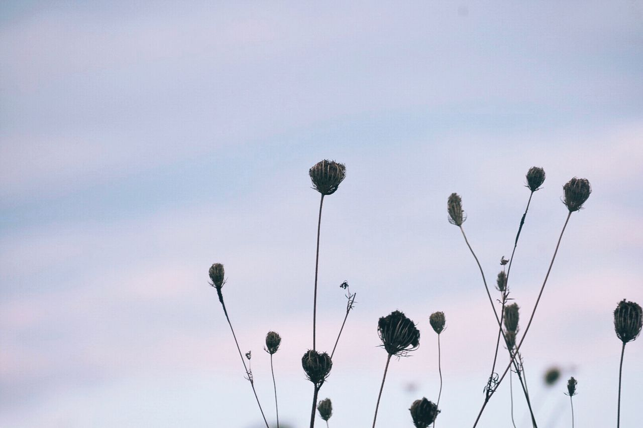 sky, plant, growth, beauty in nature, flower, no people, nature, flowering plant, plant stem, tranquility, low angle view, fragility, vulnerability, day, freshness, outdoors, bud, copy space, thistle, close-up