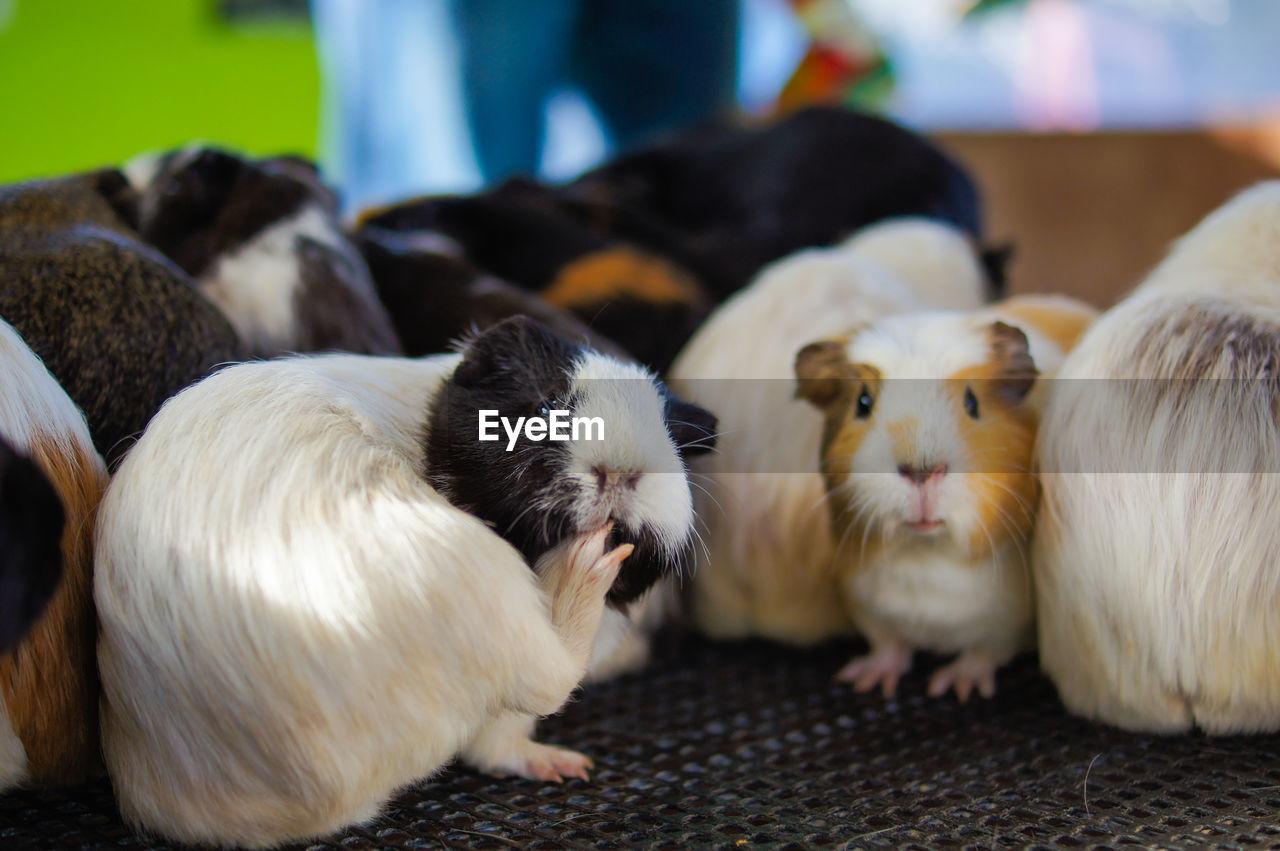 Close-up of guinea pigs