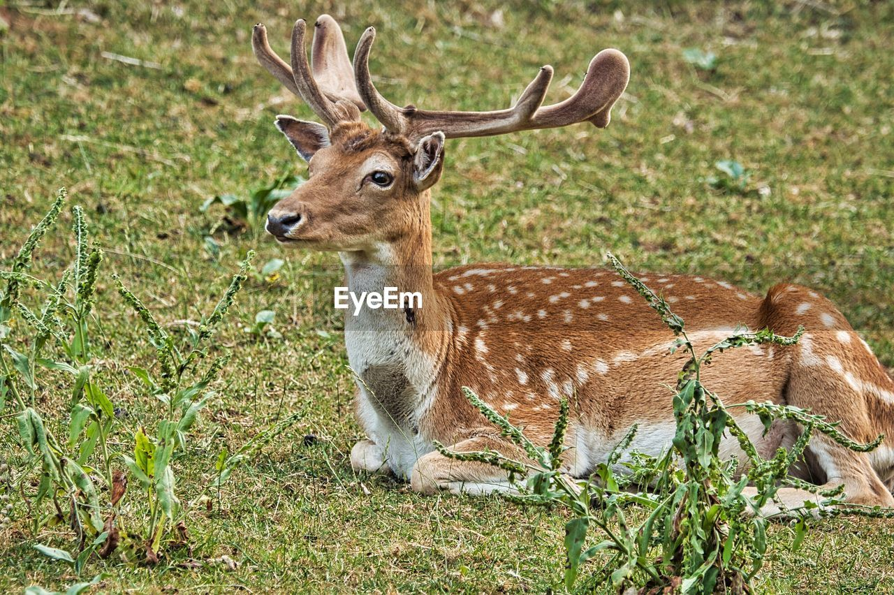 animal wildlife, animal, animals in the wild, animal themes, deer, mammal, vertebrate, one animal, plant, land, field, nature, no people, antler, day, herbivorous, grass, spotted, relaxation, outdoors, fawn
