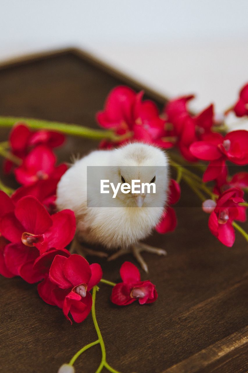 flowering plant, flower, plant, indoors, vertebrate, domestic, mammal, domestic animals, pets, animal themes, close-up, animal, no people, red, beauty in nature, looking at camera, one animal, nature, freshness, young animal, flower head