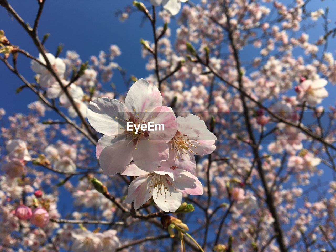 flowering plant, flower, plant, fragility, freshness, beauty in nature, growth, vulnerability, blossom, springtime, tree, branch, cherry blossom, petal, close-up, nature, low angle view, day, focus on foreground, twig, flower head, pink color, cherry tree, no people, pollen, outdoors, plum blossom, spring