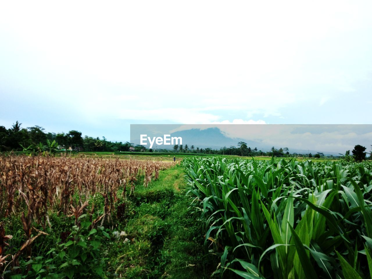 field, agriculture, land, growth, landscape, plant, sky, crop, rural scene, environment, scenics - nature, tranquility, tranquil scene, beauty in nature, nature, farm, green color, no people, day, cereal plant, outdoors, plantation