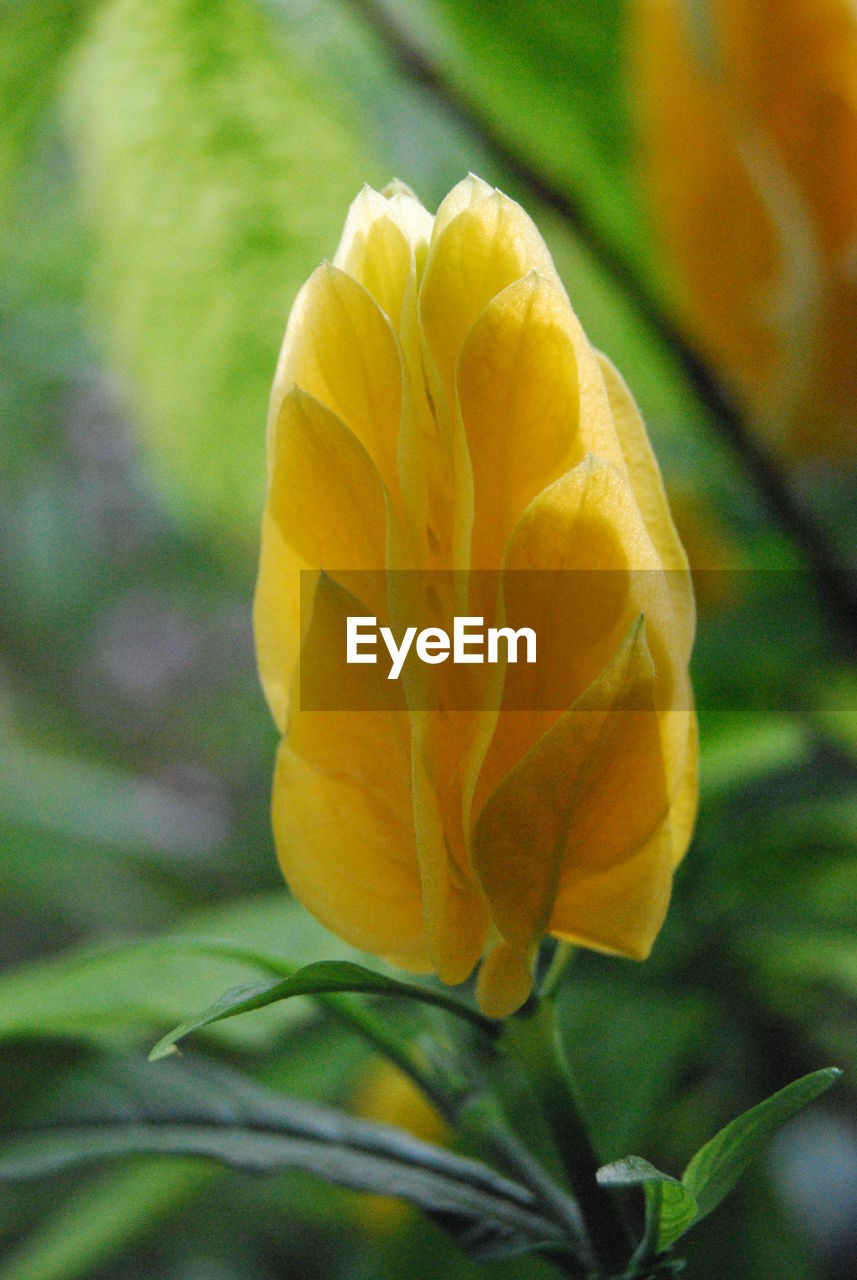 flower, petal, yellow, nature, beauty in nature, flower head, growth, fragility, freshness, no people, close-up, outdoors, day, plant, blooming
