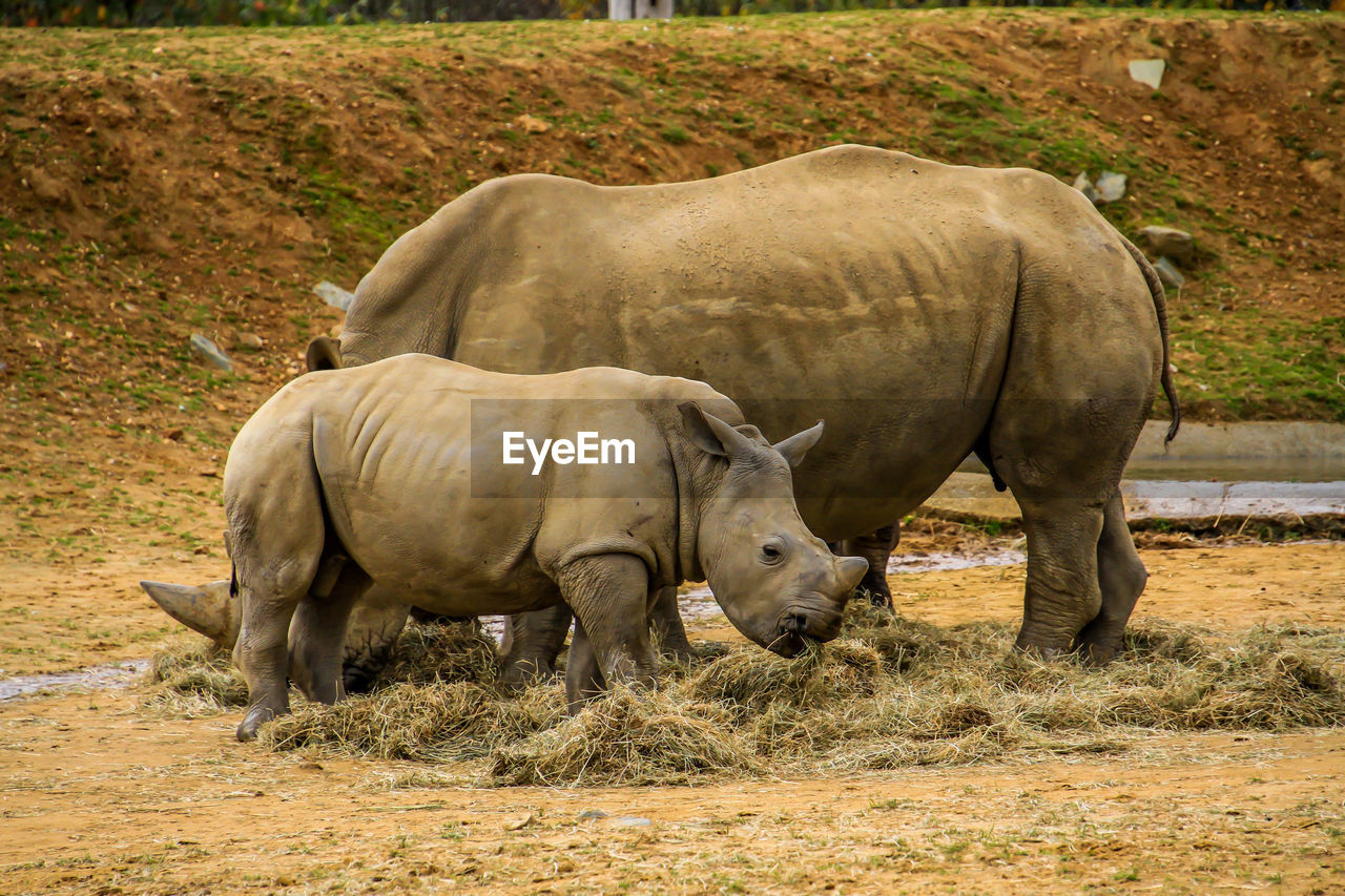 mammal, animal themes, animal, vertebrate, group of animals, field, animal wildlife, land, domestic animals, day, animals in the wild, no people, rhinoceros, livestock, nature, grass, two animals, plant, full length, outdoors, herbivorous, animal family