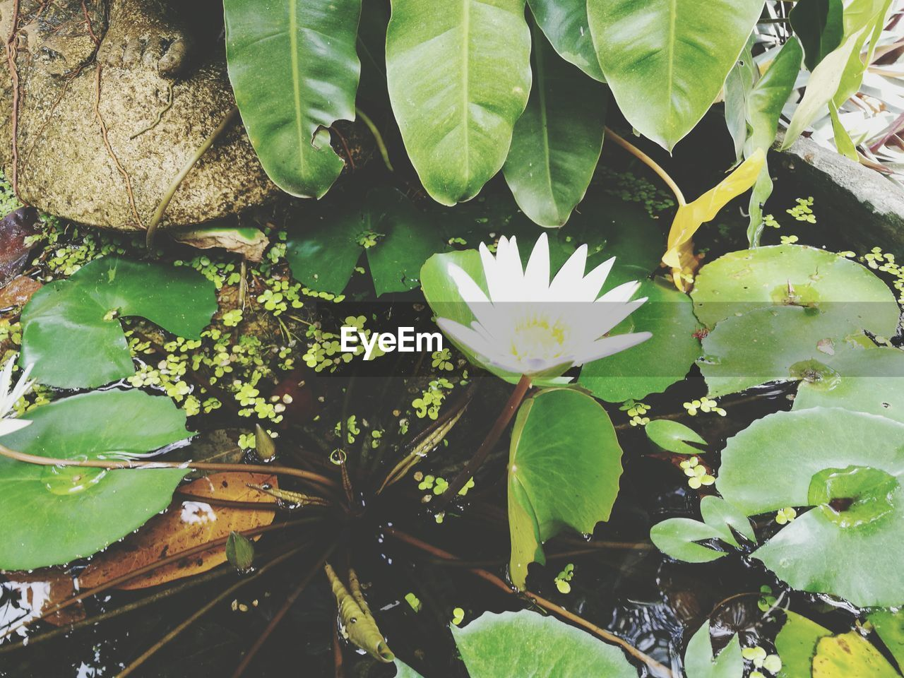 HIGH ANGLE VIEW OF LOTUS WATER LILY FLOATING ON PLANT