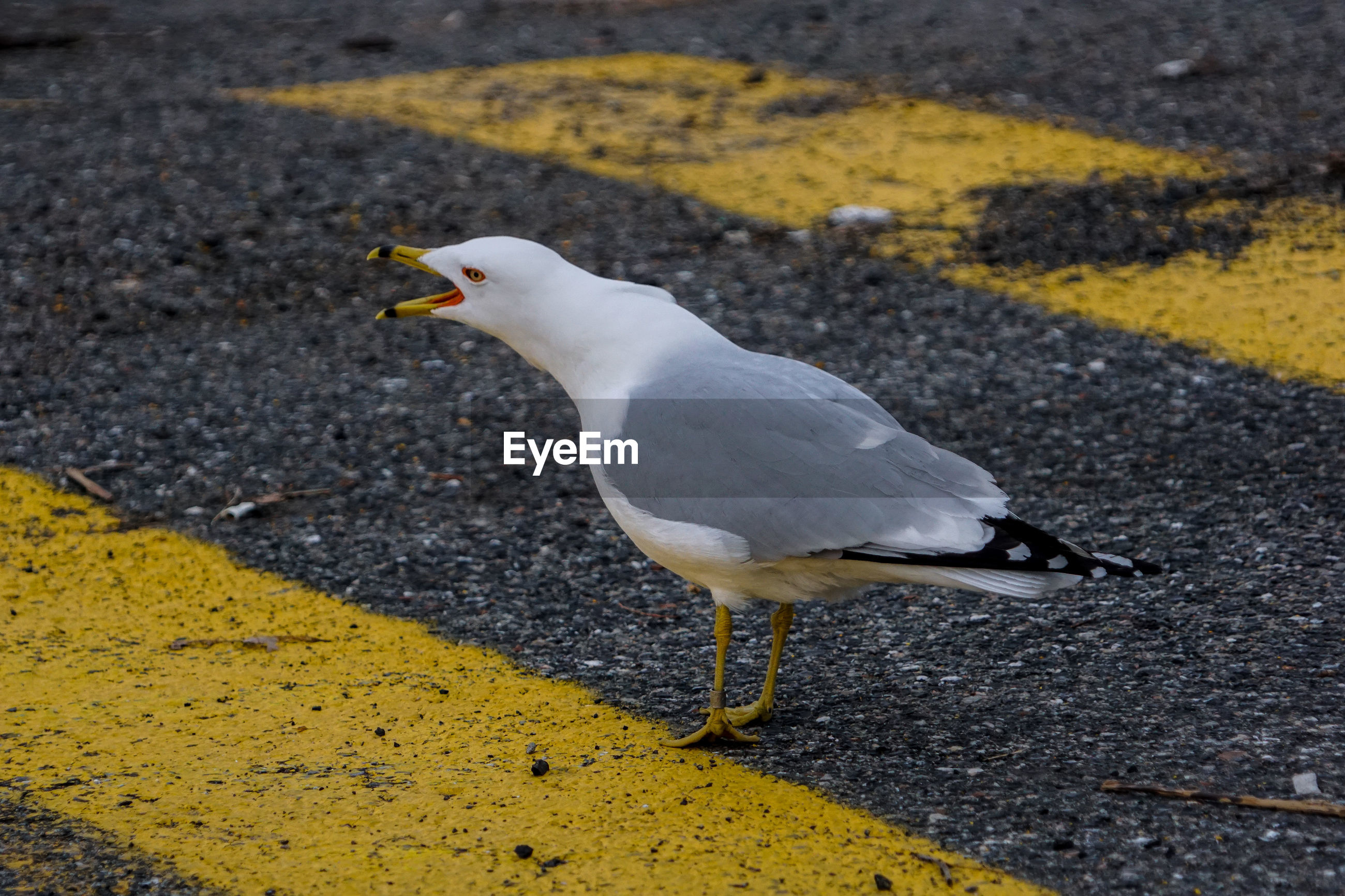 Close-up of seagull perching on road