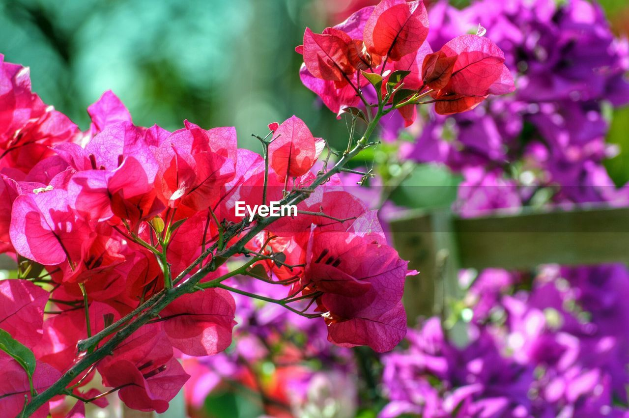 Close-Up Of Fresh Pink Bougainvillea