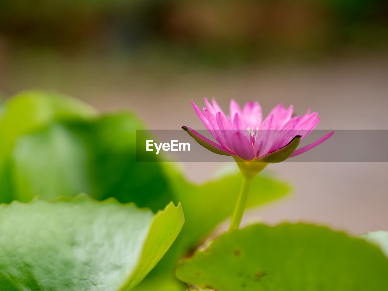 flowering plant, freshness, flower, beauty in nature, vulnerability, fragility, plant, pink color, petal, close-up, growth, flower head, inflorescence, water lily, leaf, plant part, green color, no people, nature, pond, outdoors, pollen, lotus water lily