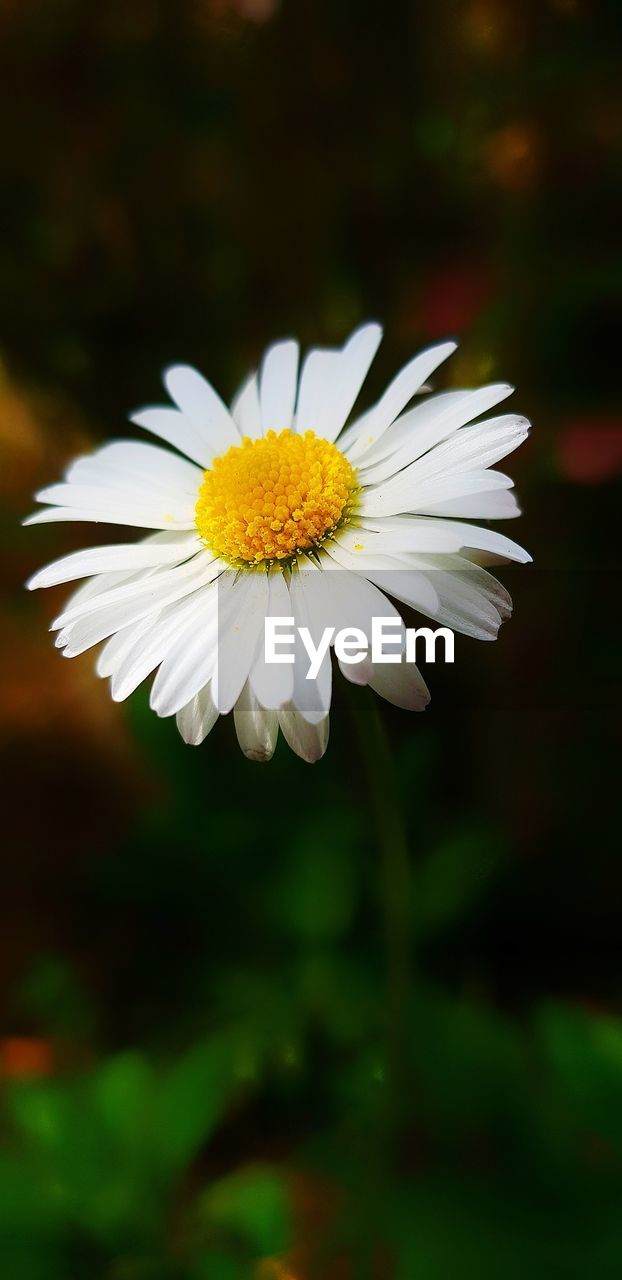 flowering plant, flower, fragility, petal, vulnerability, freshness, flower head, inflorescence, plant, beauty in nature, growth, close-up, white color, yellow, daisy, focus on foreground, pollen, nature, no people, outdoors