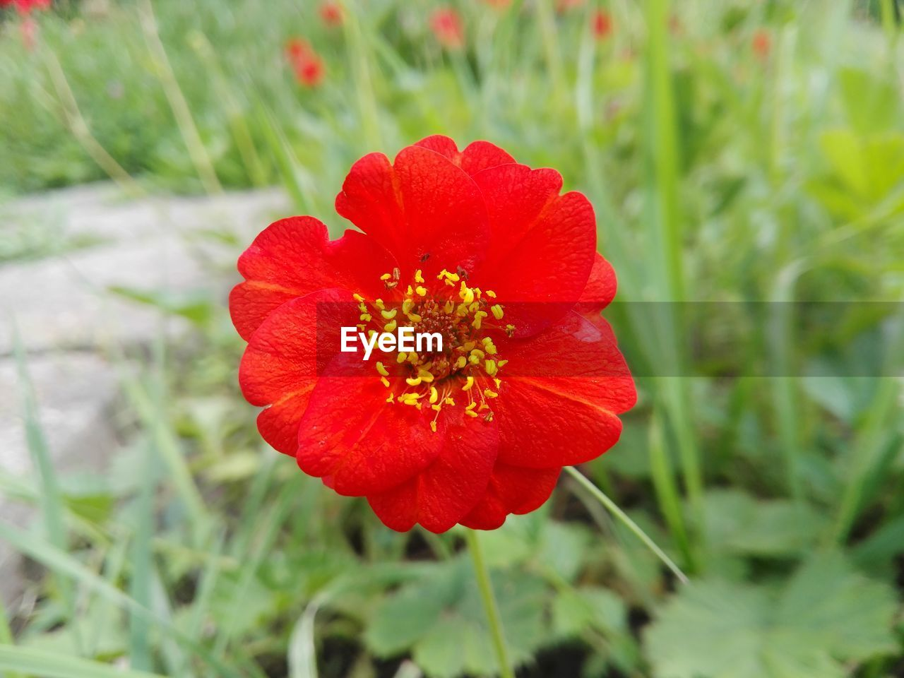 flower, nature, beauty in nature, petal, plant, red, fragility, growth, flower head, poppy, blooming, no people, freshness, close-up, outdoors, marigold, day