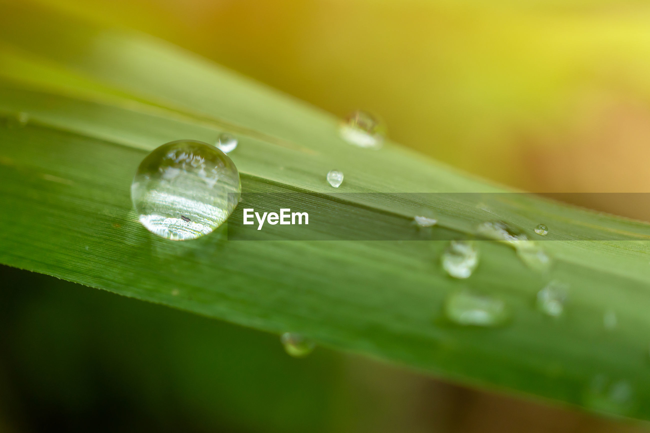 CLOSE-UP OF WATER DROPS ON GREEN LEAVES
