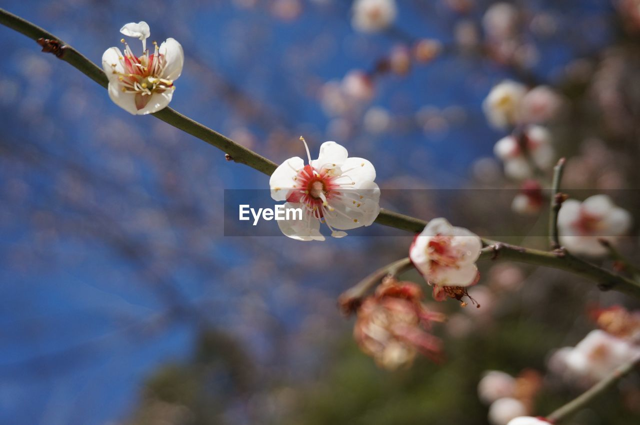 flower, fragility, white color, beauty in nature, growth, petal, nature, blossom, freshness, flower head, apple blossom, botany, no people, tree, twig, branch, day, blooming, springtime, plum blossom, focus on foreground, pollen, stamen, close-up, outdoors, low angle view, sky