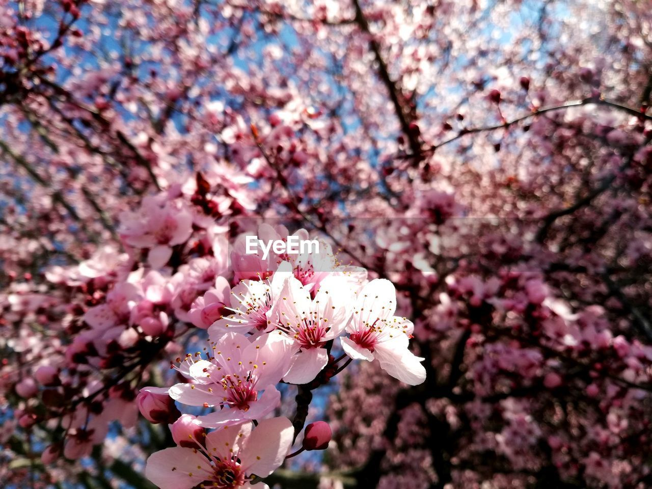 flowering plant, flower, plant, fragility, freshness, vulnerability, tree, beauty in nature, blossom, growth, springtime, pink color, branch, cherry blossom, nature, close-up, petal, day, cherry tree, no people, flower head, outdoors, plum blossom, pollen, spring, bunch of flowers