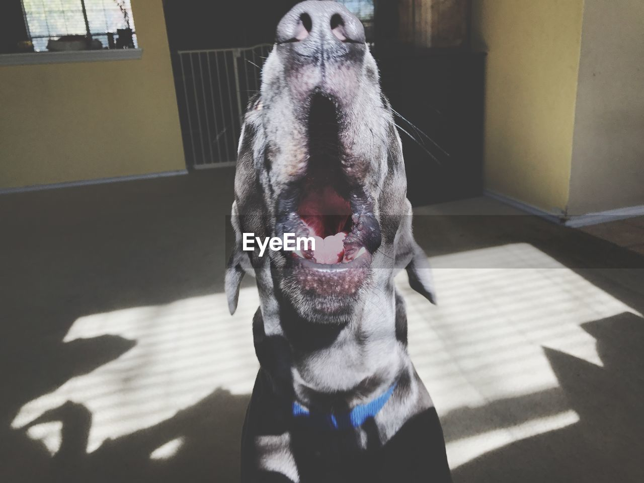 one animal, mammal, pets, animal themes, animal, domestic animals, domestic, dog, canine, vertebrate, shadow, no people, sunlight, indoors, facial expression, animal body part, mouth open, mouth, home interior, sticking out tongue, animal tongue, animal head, animal mouth, weimaraner