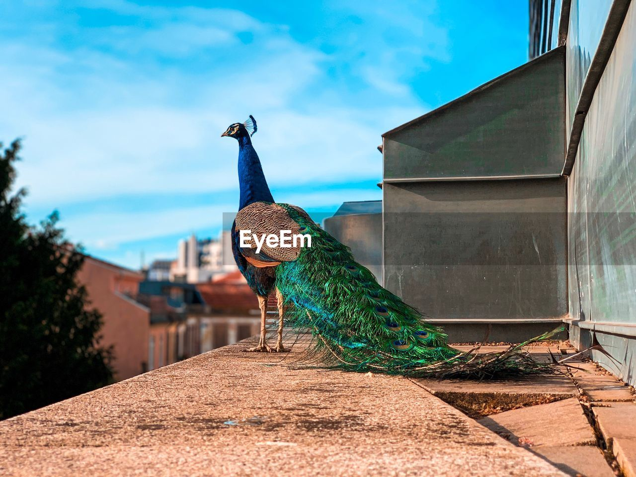 bird, animal themes, animal, one animal, architecture, animal wildlife, peacock, vertebrate, built structure, animals in the wild, day, building exterior, nature, no people, sky, focus on foreground, blue, retaining wall, outdoors, wall