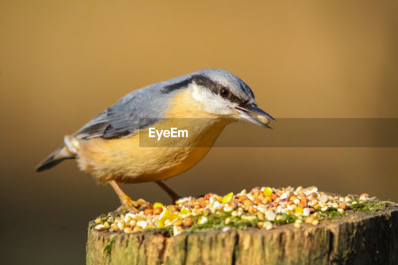 bird, animal themes, vertebrate, animal, animal wildlife, one animal, animals in the wild, close-up, perching, focus on foreground, no people, yellow, wood - material, nature, food, day, looking, side view, selective focus, copy space, beak, profile view