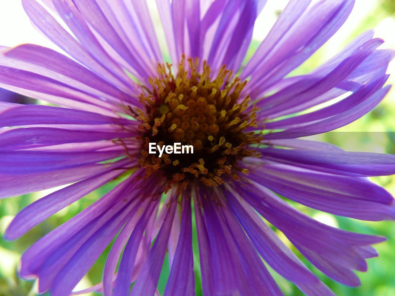 flower, petal, fragility, beauty in nature, nature, flower head, growth, freshness, purple, pollen, no people, day, close-up, outdoors, plant, blooming, springtime, osteospermum, eastern purple coneflower
