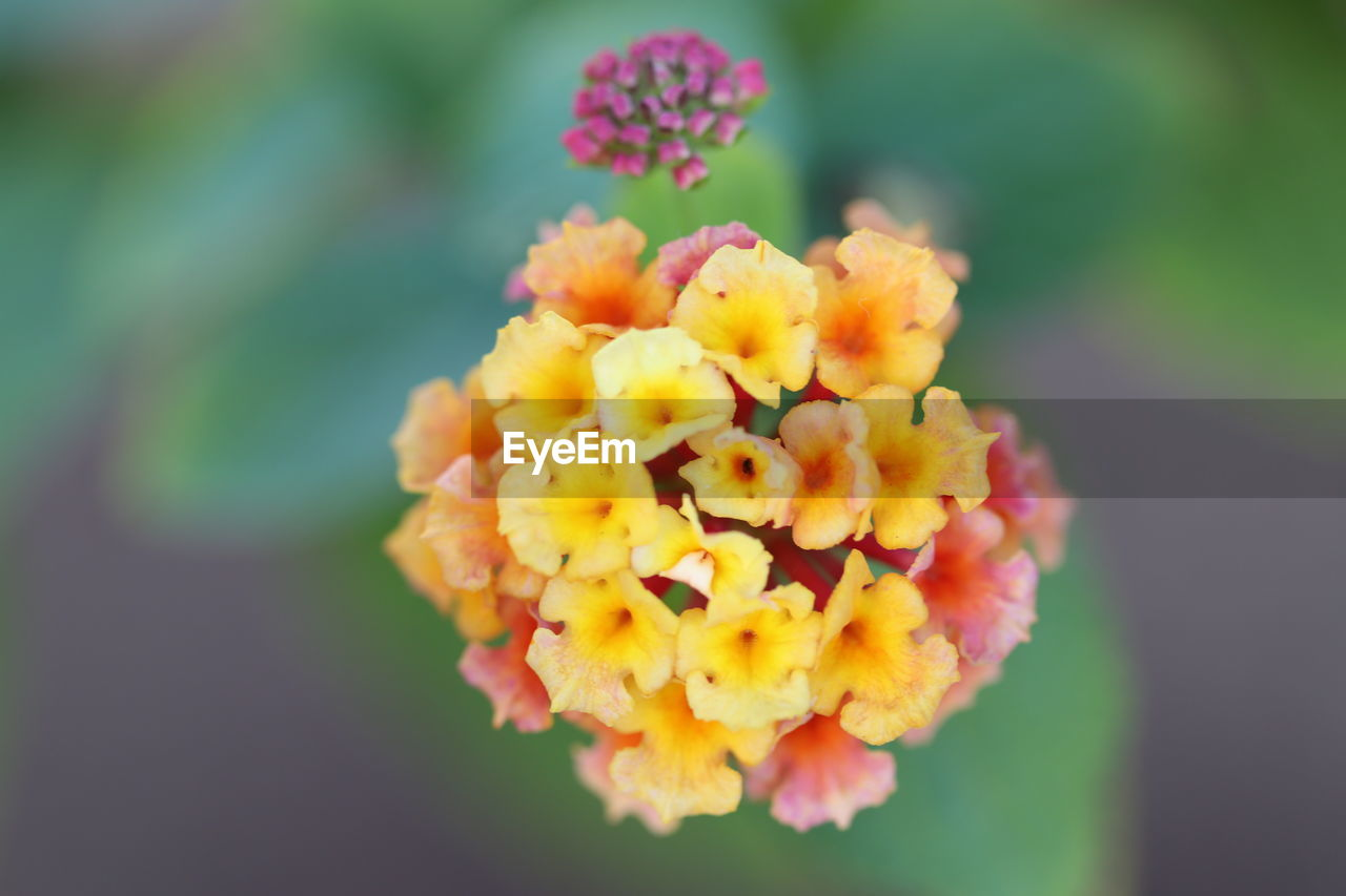 flowering plant, flower, fragility, vulnerability, plant, beauty in nature, freshness, lantana, growth, inflorescence, flower head, petal, close-up, yellow, nature, day, focus on foreground, no people, selective focus, outdoors