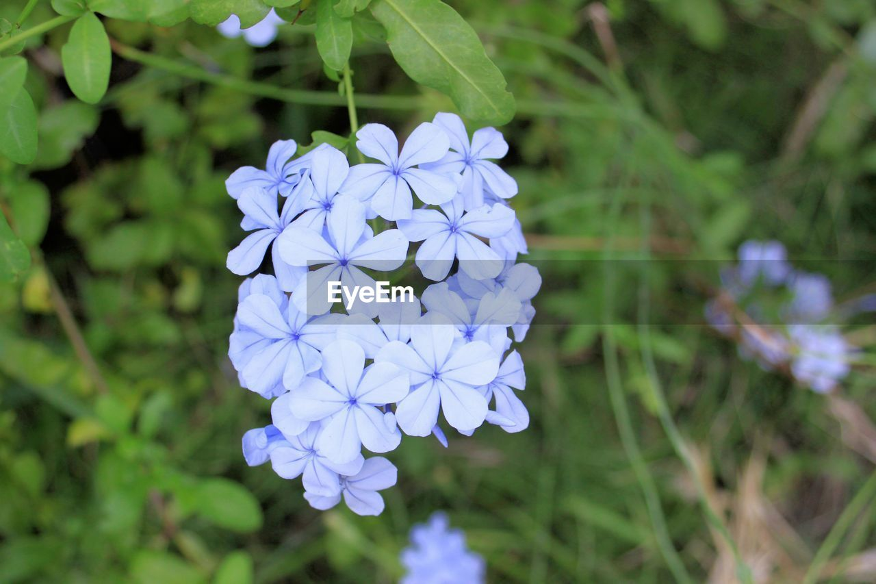 flowering plant, flower, plant, fragility, freshness, vulnerability, petal, beauty in nature, flower head, inflorescence, purple, growth, close-up, focus on foreground, nature, day, blue, no people, botany, outdoors
