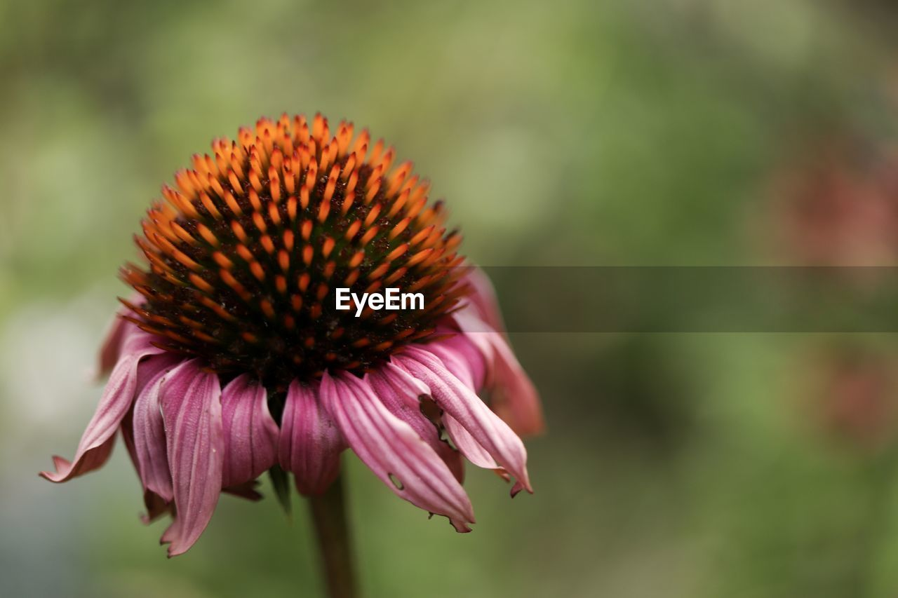 CLOSE-UP OF PURPLE CONEFLOWER ON PINK FLOWER