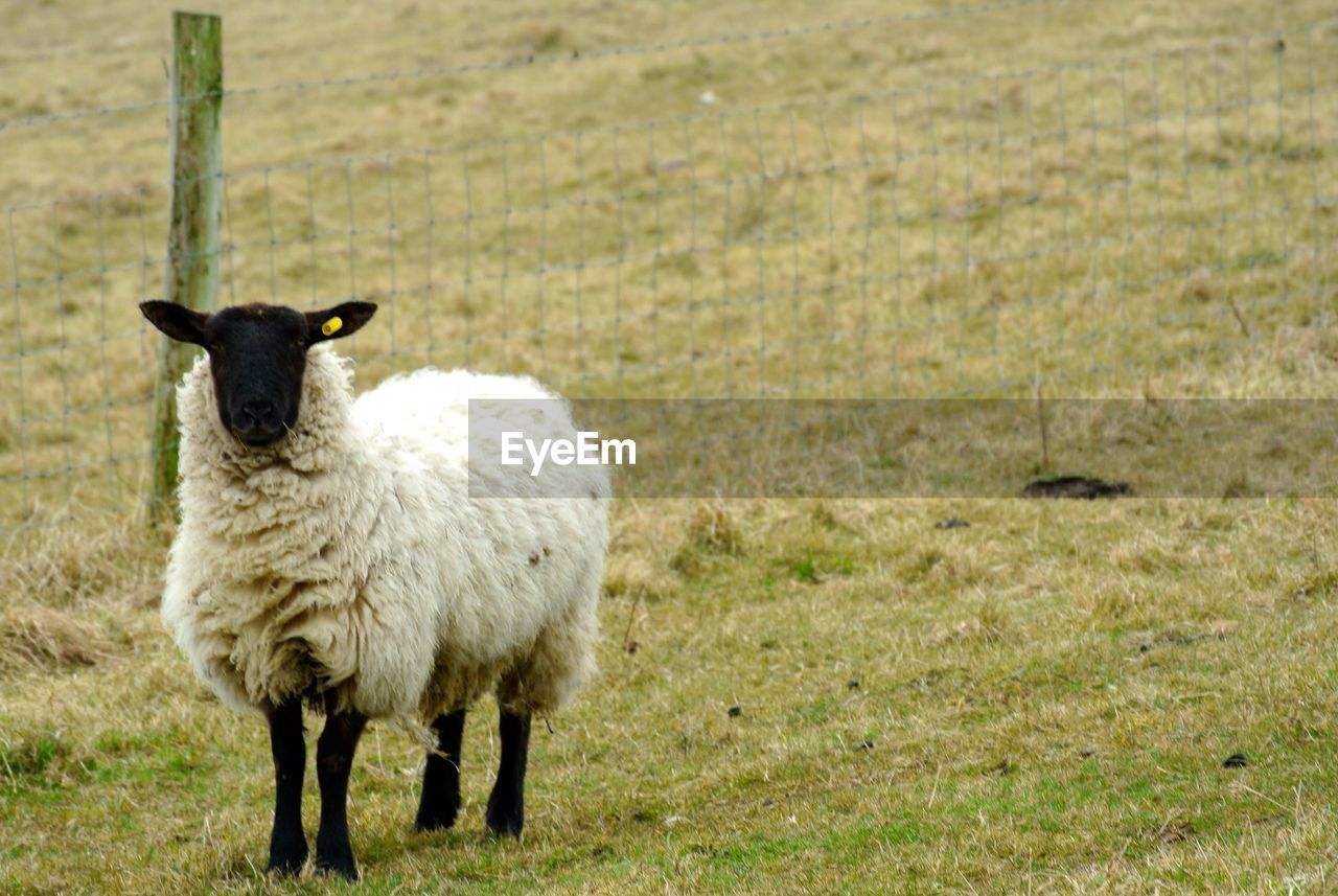 animal themes, animal, mammal, livestock, domestic animals, grass, sheep, domestic, pets, standing, field, land, vertebrate, plant, nature, one animal, day, wool, portrait, no people, herbivorous, outdoors