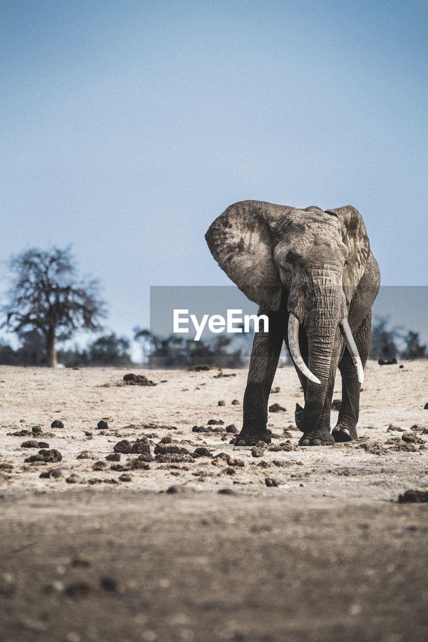 Elephant In The Wild In Kenya