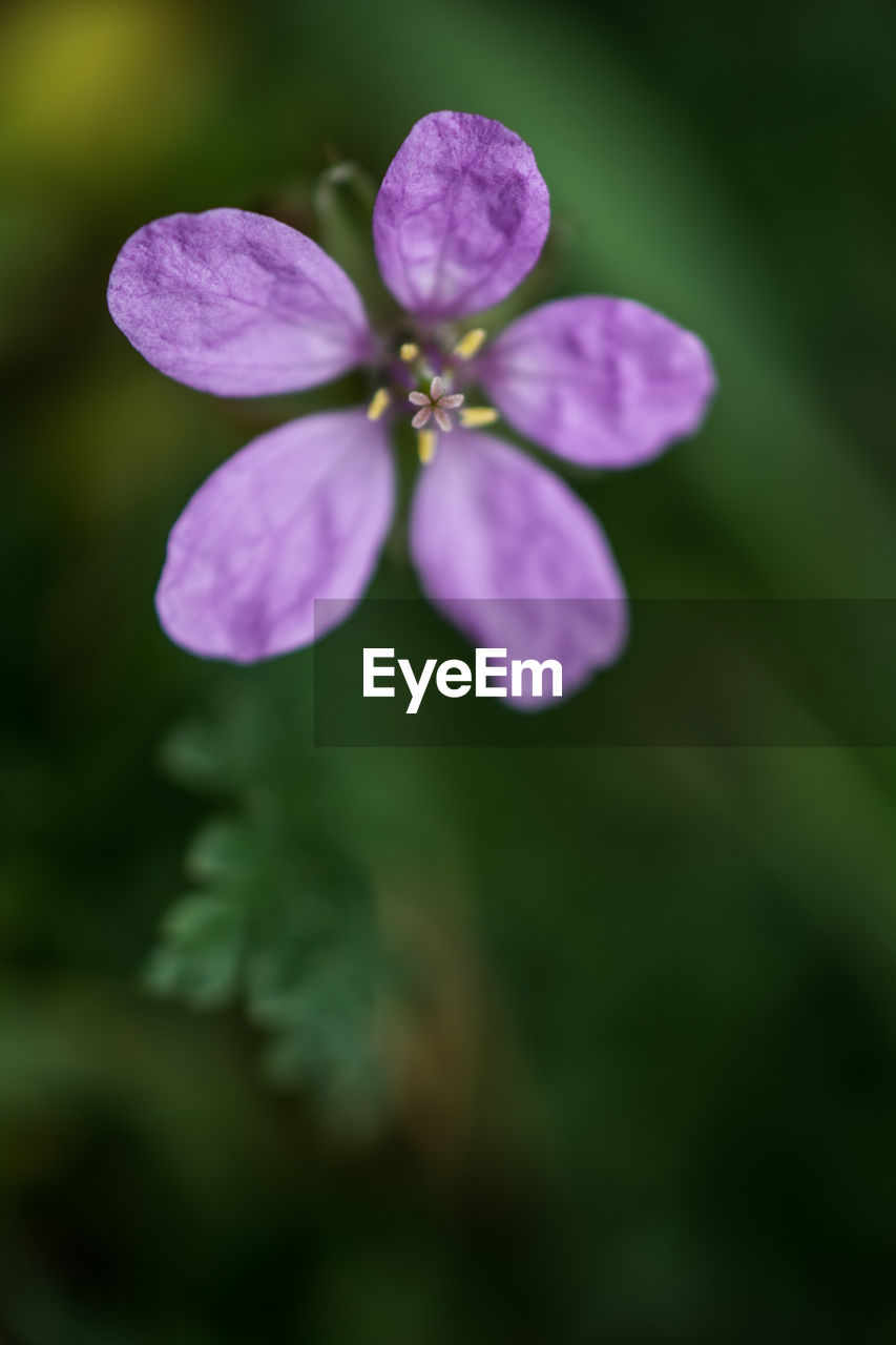 plant, beauty in nature, flower, flowering plant, fragility, vulnerability, petal, growth, freshness, close-up, no people, selective focus, flower head, purple, inflorescence, nature, outdoors, botany, focus on foreground, day, purity