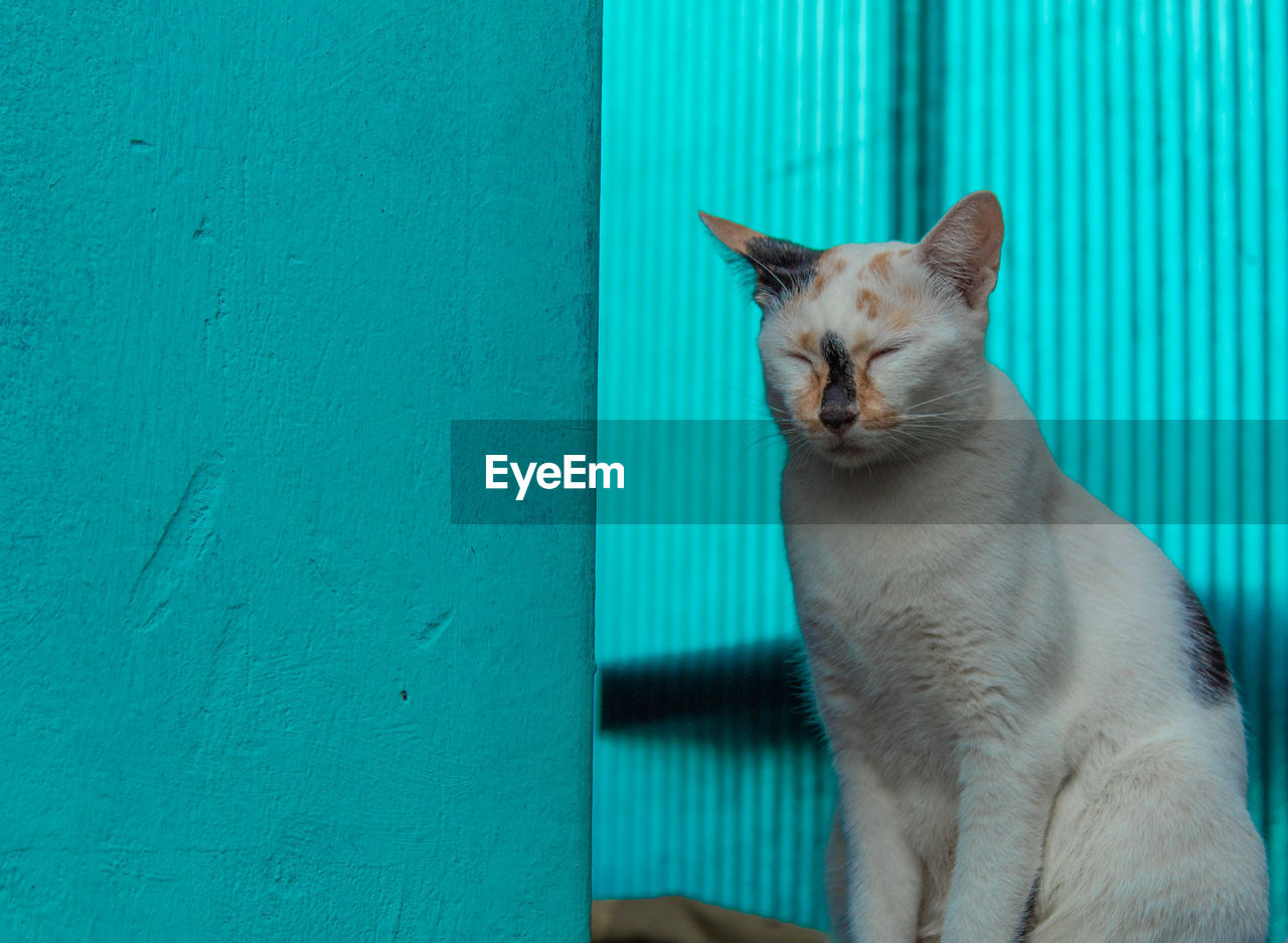 cat, domestic cat, feline, domestic, pets, domestic animals, one animal, mammal, vertebrate, blue, no people, whisker, wall - building feature, sitting, day, portrait, relaxation, turquoise colored