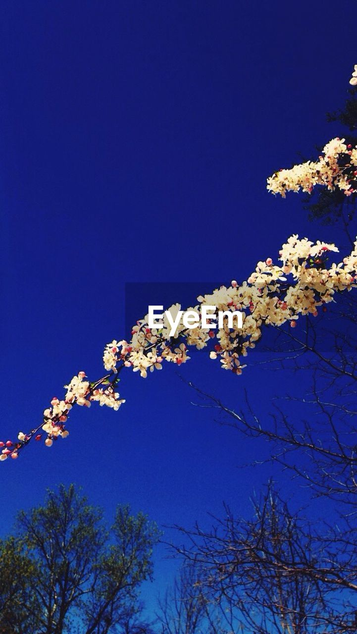 tree, low angle view, beauty in nature, nature, branch, growth, flower, blossom, no people, clear sky, blue, springtime, day, tranquility, fragility, outdoors, freshness, sky, scenics