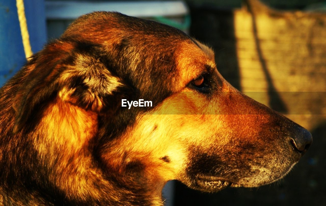 one animal, canine, dog, pets, mammal, domestic, domestic animals, animal themes, animal, close-up, animal head, animal body part, vertebrate, focus on foreground, looking, looking away, no people, brown, day, side view, profile view, snout, animal mouth