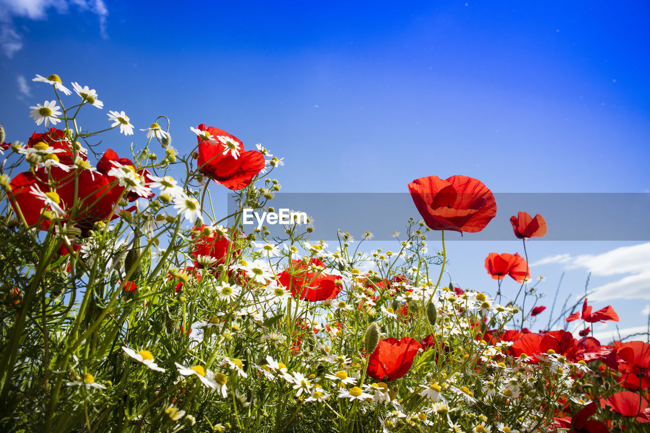 plant, flower, flowering plant, beauty in nature, sky, fragility, vulnerability, freshness, red, petal, growth, nature, poppy, flower head, inflorescence, low angle view, no people, close-up, blue, day, outdoors