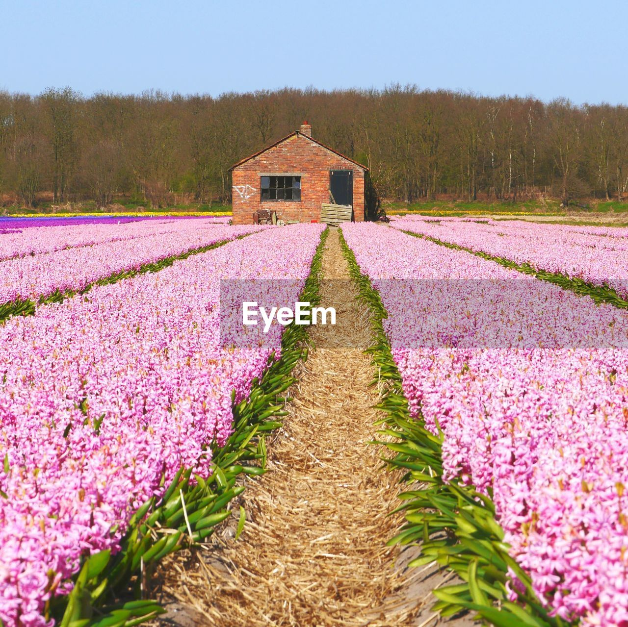 Pink flowers growing on field against clear sky