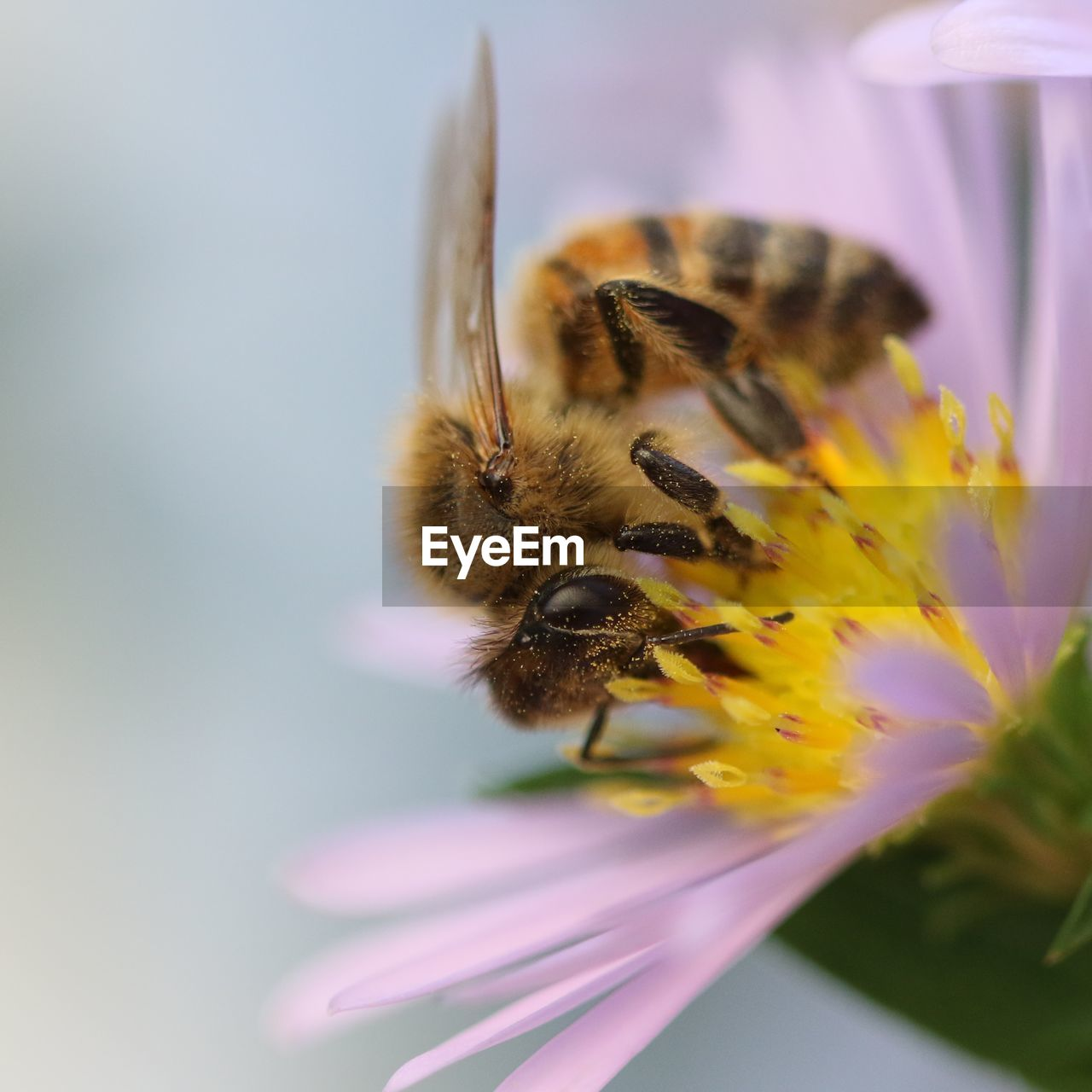 flower, flowering plant, bee, animal themes, fragility, invertebrate, insect, vulnerability, animal, beauty in nature, flower head, one animal, animals in the wild, petal, plant, animal wildlife, freshness, close-up, pollination, growth, no people, pollen, honey bee, bumblebee, purple