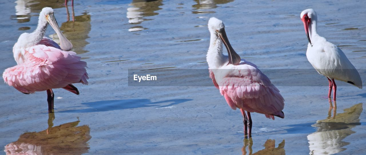 Roseate Spoonbills And White Ibis In Lake