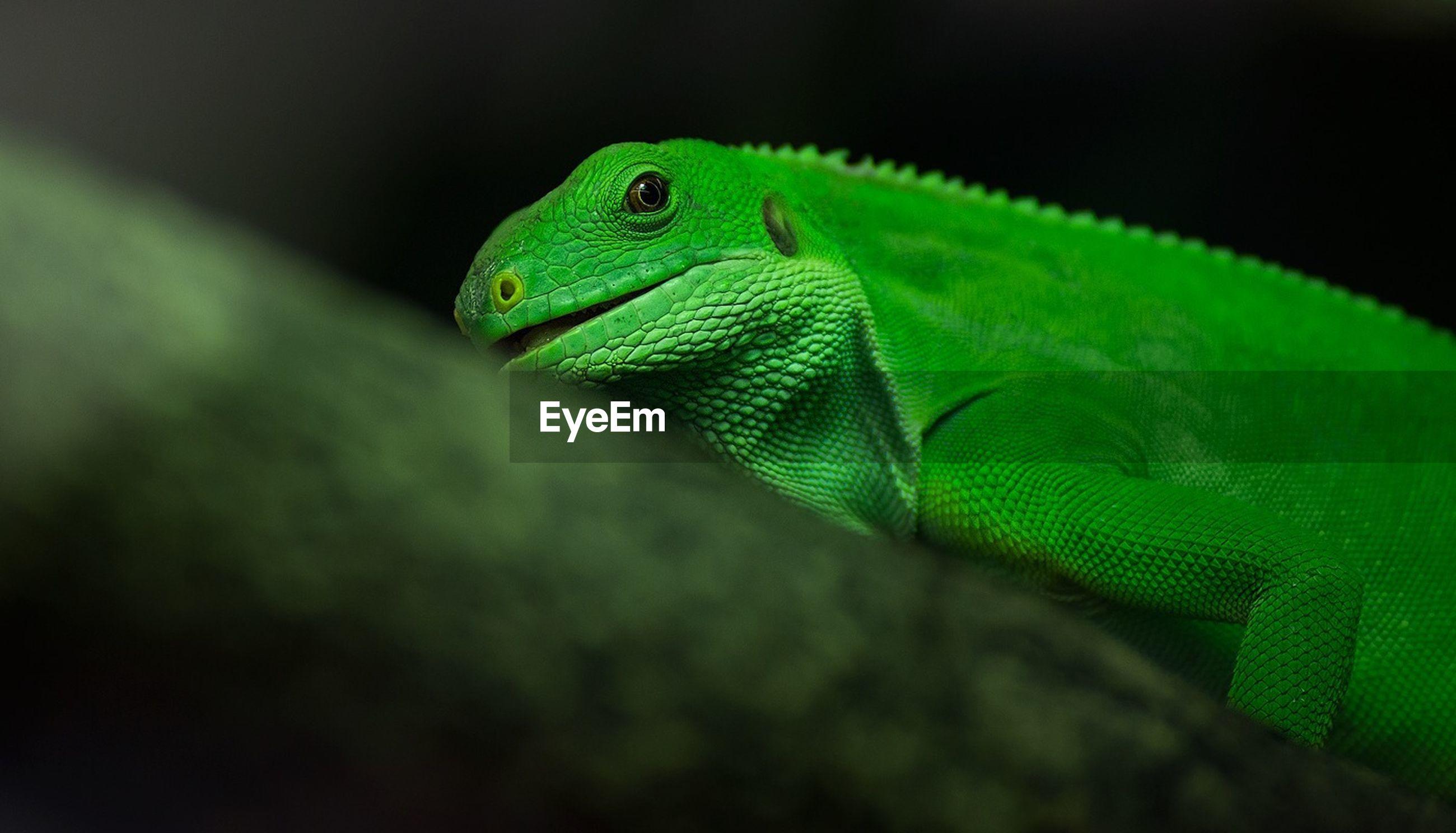 Green lizard on tree trunk
