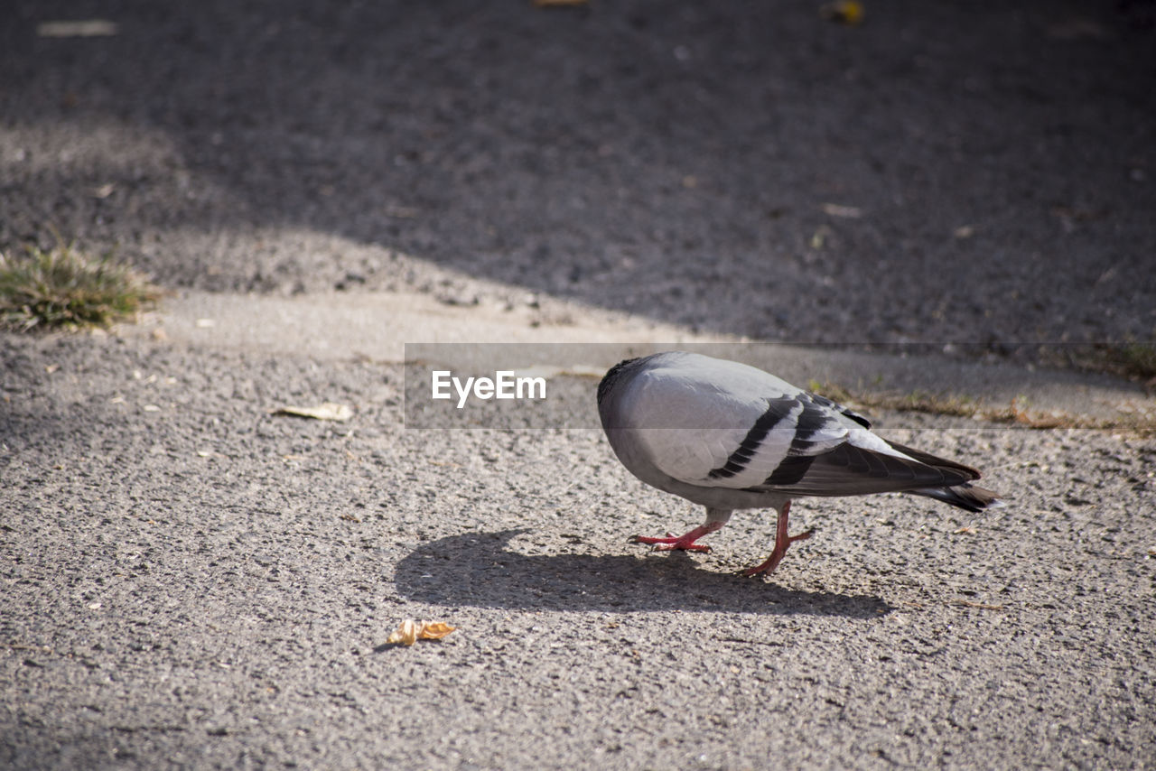 Close-up of pigeon on road
