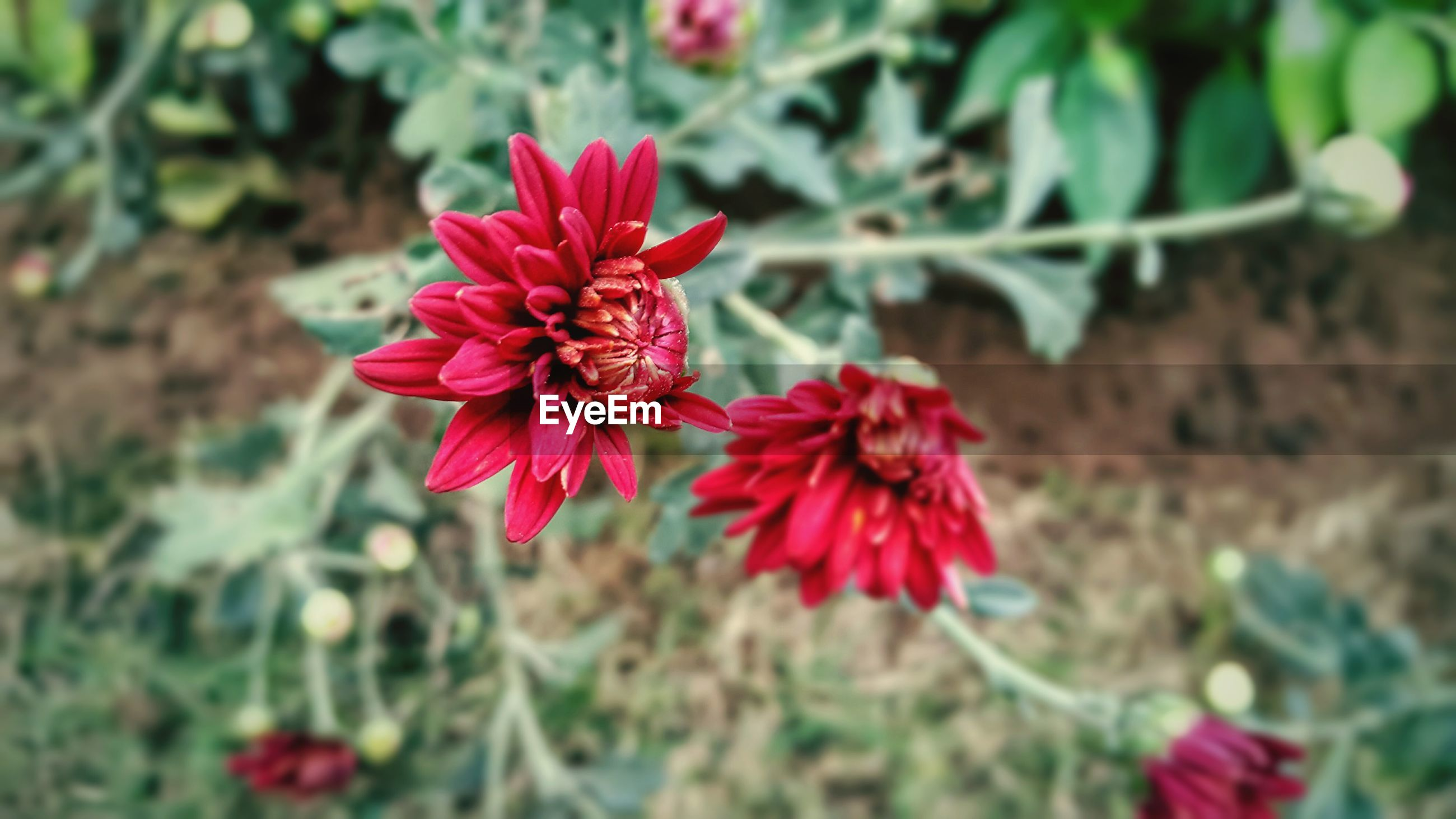 CLOSE-UP OF RED FLOWER BLOOMING IN PLANT