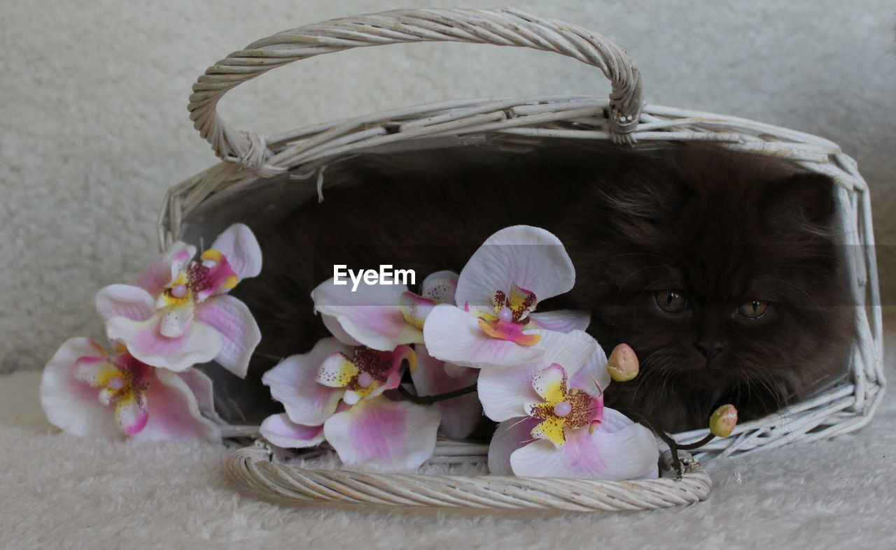 domestic cat, feline, domestic animals, animal themes, cat, basket, mammal, pets, animal, domestic, one animal, container, flower, flowering plant, vertebrate, no people, indoors, plant, close-up, whisker, kitten, animal head