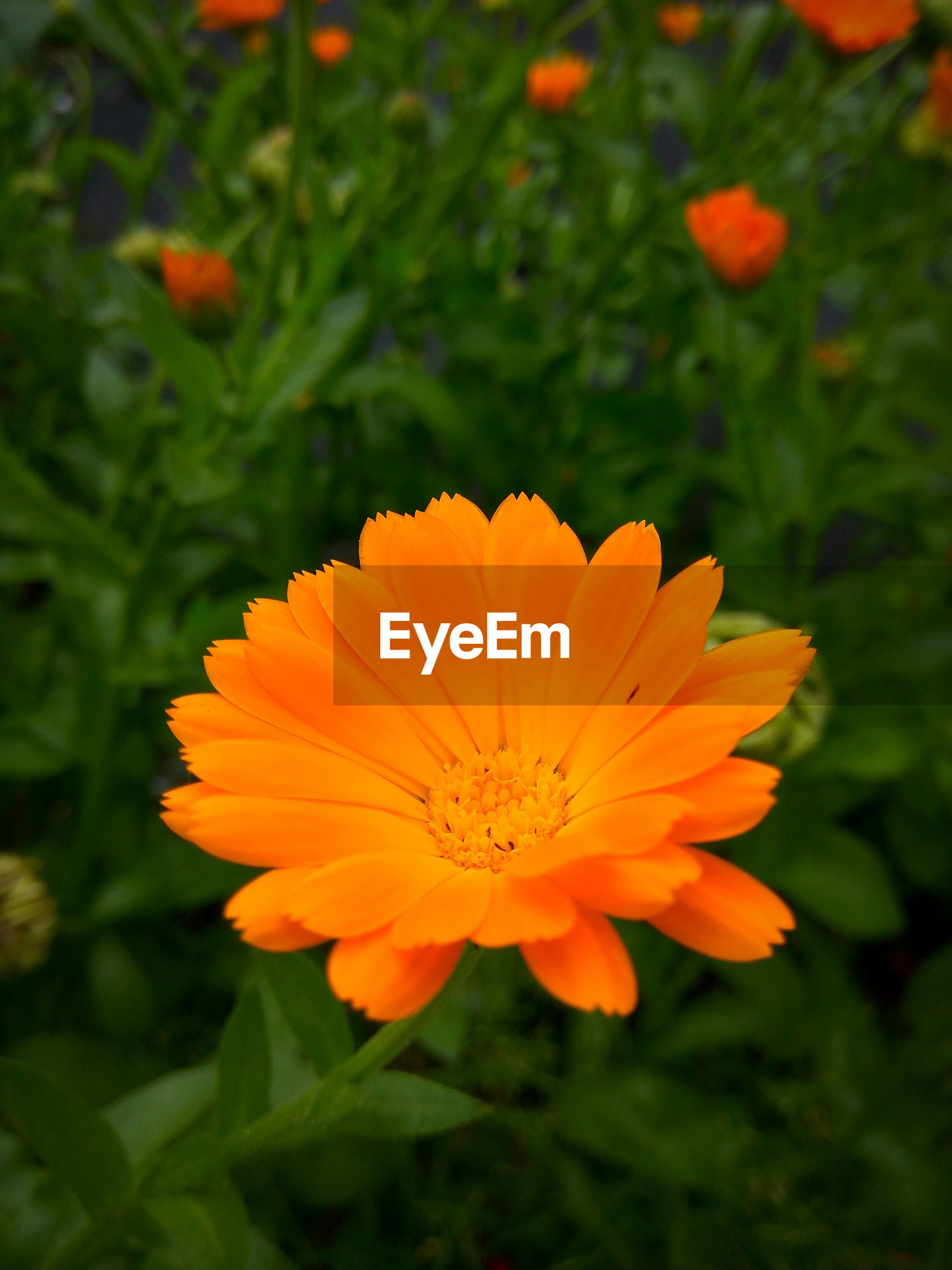 CLOSE-UP OF ORANGE FLOWER BLOOMING