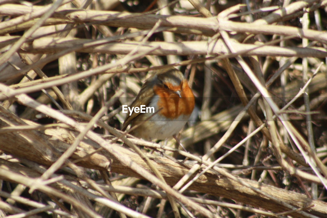 one animal, animal themes, animals in the wild, nature, no people, insect, outdoors, animal wildlife, day, perching, close-up, robin