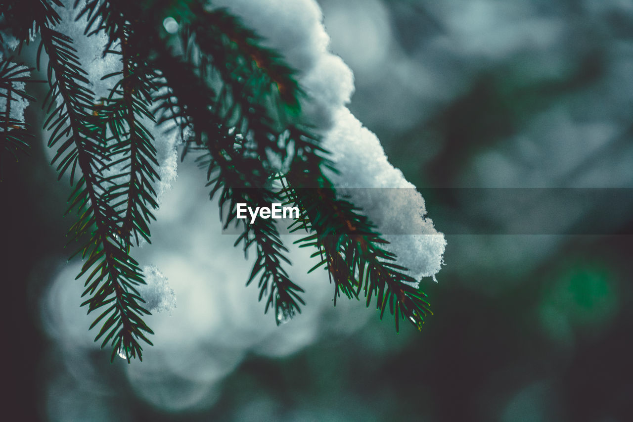 plant, winter, cold temperature, beauty in nature, close-up, growth, focus on foreground, selective focus, nature, snow, tree, day, no people, ice, branch, frozen, outdoors, white color, green color, pine tree, needle - plant part, coniferous tree, fir tree